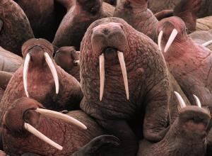 Pacific walruses at Cape Peirce, Alaska.