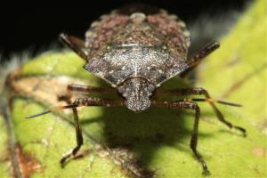 This brown marmorated stink bug doesn't want to raise the debt ceiling.