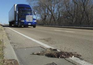In this photo taken Jan. 4, 2012, a tractor-trailer rumbles by a roadkill raccoon.