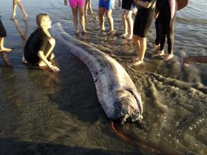 This Friday, Oct. 18, 2013 image provided by Mark Bussey shows an oarfish that washed up on the beach near Oceanside, Calif.