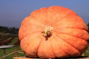 Not the huge pumpkin in question.