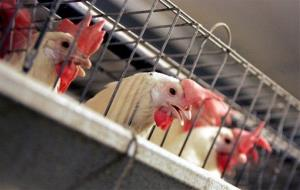 Chickens huddle in their cages at a farm in California.