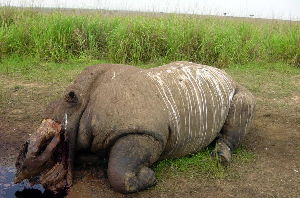 The mutilated carcass of a young female northern white rhino killed by poachers lies in a national park in the Congo. Scientists believe only three or four wild northern white rhinos survive.