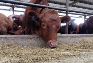 The FDA is trying to curb the amount of antibiotics that farm animals ingest.