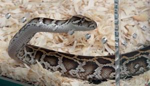 A Burmese python at Zoo Miami.