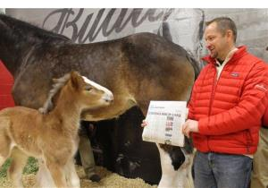 Jeff Knapper, general manager of Budweiser Clydesdale operations, shows a baby foal the headline announcing that Brotherhood won the Super Bowl XLVII Ad Meter competition.
