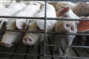 Hogs poke their snouts through a fence at a farm in Illinois.
