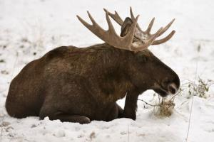 A snowboarder was fined $250 after he chased a moose and a friend filmed it.