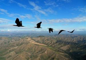 Northern bald ibises fly in formation.