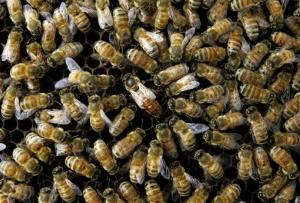 This April 25, 2007 file photo shows a colony of honeybees at the Agriculture Department's Bee Research Laboratory in Beltsville, Md.