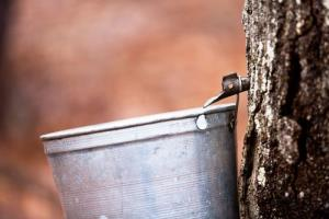 Tapping mature trees may eventually be unnecessary.