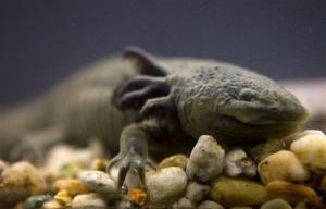 In this 2008 file photo, a salamander-like axolotl, also known as the water monster and the Mexican walking fish, swims in a tank at the Chapultepec Zoo in Mexico City.