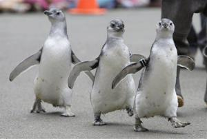 A trio of new adolescent Magellanic penguins at the San Francisco Zoo.