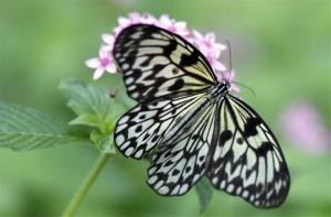 A paper kite butterfly at the Fairchild Tropical Botanic Garden, Friday, Jan. 17, 2014, in Coral Gables, Fla.