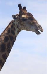A giraffe opens its mouth in this 2013 file photo. Copenhagen Zoo put down a young male giraffe today over inbreeding concerns. WARNING: Next pictures feature graphic content.