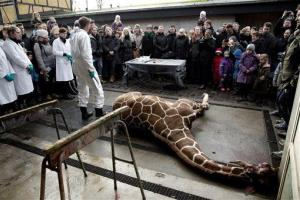 Marius, a male giraffe, lies dead before being dissected, after he was put down at Copenhagen Zoo on Sunday, Feb. 9, 2014.