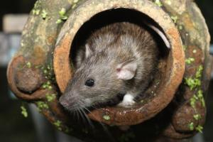 Giant rats could someday rule the world, scientists say.