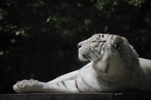 A white Bengal tiger is seen here.