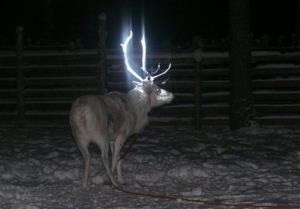 In this picture taken on Feb. 15, 2014 in Rovaniemi, Finland, a reindeer is seen with fluorescent antlers after a test in which Finnish herders dabbed it with fluorescent paint.