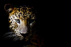 A leopard scared hospital patients and injured a police officer.