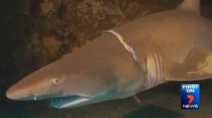 The shark, seen with an elastic band around its gills.