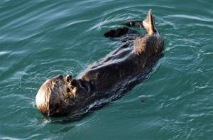 This photo taken Feb. 27, 2014, in Valdez, Alaska, shows a sea otter in the bay near a ferry dock.