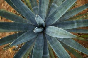 A blue agave plant grows near the town of Tequila, Mexico.
