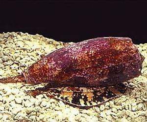 Cone snail venom may reduce pain.