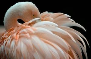 A flamingo braves the low temperatures at the zoo in Frankfurt, central Germany.