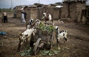 Goats eat vegetable leaves from a cart belonging to a man working in a wholesale fruit and vegetable market in Islamabad, Pakistan, Tuesday, March 25, 2014.