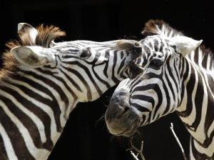 Zebras  stand in their enclosure at a German zoo.