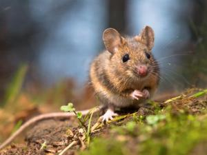 Could vaccinating mice help prevent Lyme disease in humans?