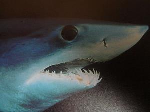 File photo of a mako shark.