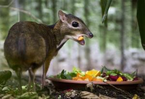 A chevrotain, or mouse deer, feeds in its enclosure at Zurich Zoo, Switzerland, Wednesday, Oct. 17, 2012.