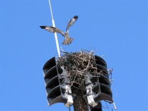 An osprey takes off from its nest inside a fire siren in Spring Lake N.J.