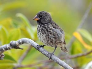 One of the Galapagos finches.
