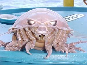 Giant isopods are usually spread pretty thin and only occur in abundance around a food source, Thaler says.