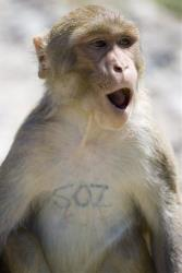 File photo of a macaque monkey.