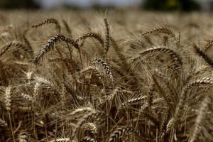 Wheat, on a farm, in Qalubiyah, North Cairo, Egypt, Monday, May 13, 2013.