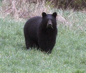 File photo of a black bear.