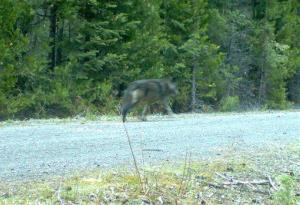 This remote camera May 3, 2014  photo shows a wolf using the same area as OR7 in southwest Oregon's Cascade Mountains.