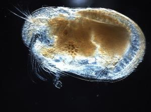 File photo of an ostracod from Wikimedia Commons.