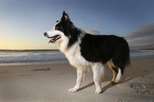 File photo of a border collie at the beach.