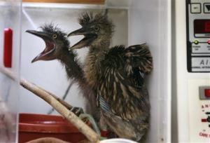 Baby black-crowned night herons are kept warm in an incubator while they recuperate at the International Bird Rescue center in Fairfield, Calif. on Tuesday, May 6, 2014.