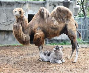 Will the next superfood come from camels?