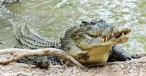 A man's remains have reportedly been found in a crocodile.