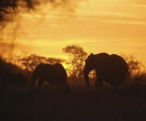 In this photo of Saturday, Feb. 5, 2011, Elephants are seen in Kenya.