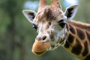 Giraffes aren't from Ghana, Twitter users pointed out.