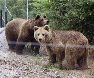Male brown bear Ari and female bear Arina in a bear sanctuary, after being rescued from a decade of captivity in a privately run illegal zoo, Thursday, May 23, 2013,  in the village of Mramor near the Kosovo capital Pristina.