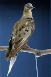 This photo taken June 14, 2014 shows Martha, an extinct passenger pigeon who died in September 1914 at the Cincinnati zoo, at the Smithsonian's Natural history Museum in Washington.